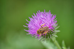 Honey bee on creeping thistle (cirsium arvense) purple flower 3 Royalty Free Stock Photo