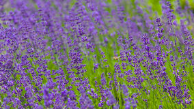Honey Bee Cruising a Lavender Field. Wild Honey Bee flying through a field on Lavender on a sunny afternoon Stock Image