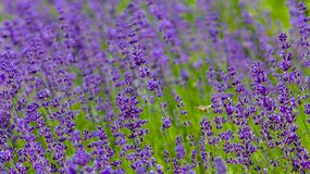 Honey Bee Cruising Through A Lavender Field Royalty Free Stock Photo