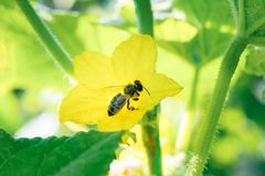Honey bee on a cucumber flower stock images