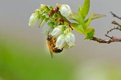 Honey Bee cuelga de una floración del arándano Imagenes de archivo