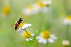 Honey Bee On Daisy Flower, cierre encima de la macro Foto de archivo