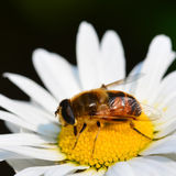 Honey bee on daisy Royalty Free Stock Photos