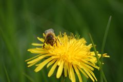 Honey Bee on Dandelion Flowerhead in macro. Beautiful close-up image of the awesome honey bee busy on the flower head. View from the front, showing all it Royalty Free Stock Photography