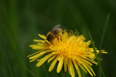 Honey Bee on Dandelion Flowerhead in macro. Beautiful close-up image of the awesome honey bee busy on the flower head. View from the side, showing all it Stock Photos