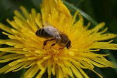 Honey Bee on Dandelion Flowerhead in macro. Beautiful close-up image of the awesome honey bee busy on the flower head. View from the side, showing all it Royalty Free Stock Photos
