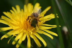 Honey Bee on Dandelion Flowerhead in macro. Beautiful close-up image of the awesome honey bee busy on the flower head. View from the top front, showing all it Stock Photos