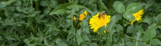 Honey bee on dandelion. Honey bee pollinating on spring meadow.  stock photo
