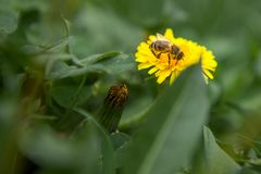 Honey bee on dandelion. Honey bee pollinating on spring meadow.  royalty free stock photography