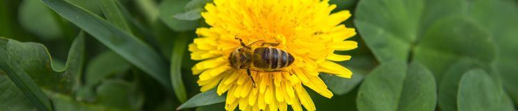 Honey bee on dandelion. Honey bee pollinating on spring meadow.  royalty free stock images