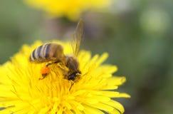 Honey bee on a dandelion. Honey bee with honey sacks Stock Photos