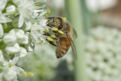Honeybee on leek flower. An industrious honeybee vicariously dangling from a leek flower while collecting nectar and pollen royalty free stock image