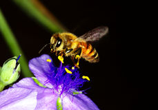 Honey bee on a dayflower Royalty Free Stock Photo