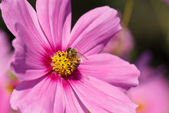 Honey Bee de forragem Imagem de Stock Royalty Free