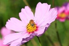 Honey Bee de forraje Imagen de archivo libre de regalías