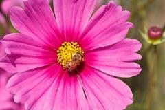 Honey Bee de forraje en la flor del cosmos Imagenes de archivo