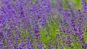 Honey Bee, der durch ein Lavendel-Feld kreuzt Lizenzfreies Stockfoto