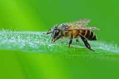 Honey bee and dew in the park Stock Photos