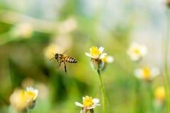 Honey Bee die aan de bloem vliegen Stock Afbeeldingen