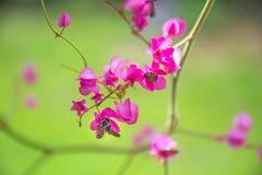Honey Bee die stuifmeel op Roze koraalwijnstok of Mexicaanse Klimplant verzamelen stock foto's