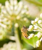 Honey Bee die stuifmeel op vage bokeh achtergrond verzamelen Stock Afbeelding