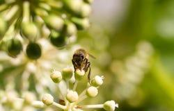 Honey Bee die stuifmeel op vage bokeh achtergrond verzamelen Stock Foto's