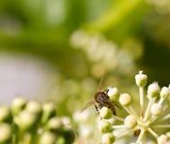 Honey Bee die stuifmeel op vage bokeh achtergrond verzamelen Stock Foto