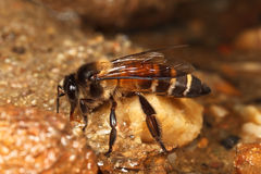 Honey Bee drinking Royalty Free Stock Images