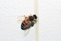 Honey bee dripping Stock Photography