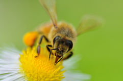 A honey bee Royalty Free Stock Images