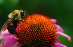 Honey bee on Echinacea coneflower flower Royalty Free Stock Photo