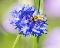Honey Bee en aciano azul Imagenes de archivo