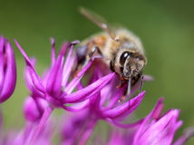 Honey Bee en allium Fotos de archivo