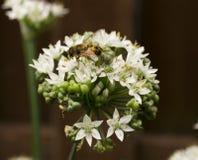 Honey Bee en cebollas salvajes de la flor blanca Foto de archivo libre de regalías
