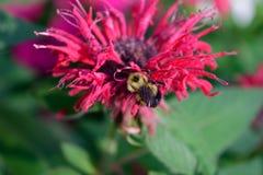 Honey Bee en el bálsamo de abeja (didyma de Monardra) Fotografía de archivo libre de regalías
