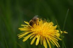 Honey Bee en el diente de león Flowerhead en macro Fotos de archivo