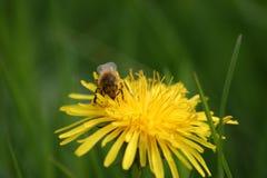 Honey Bee en el diente de león Flowerhead en macro Fotografía de archivo libre de regalías