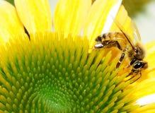 Honey Bee en el flor amarillo de la flor del maíz Foto de archivo