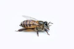 Honey Bee en el fondo blanco Foto de archivo libre de regalías
