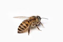 Honey Bee en el fondo blanco Imagen de archivo libre de regalías