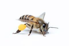 Honey Bee en el fondo blanco Fotografía de archivo