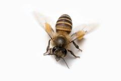 Honey Bee en el fondo blanco Imágenes de archivo libres de regalías