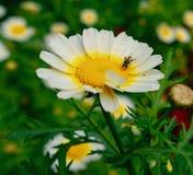 Honey Bee en el trabajo foto de archivo libre de regalías