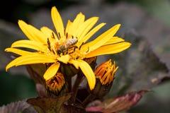 Honey Bee en Gele Bloem Stock Afbeeldingen