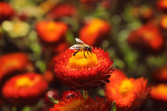 Honey Bee On en härlig röd Helichrysumblomma royaltyfria bilder