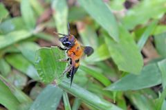 Honey Bee en hierba verde Imagenes de archivo