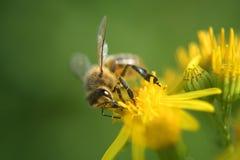 Honey Bee en la flor imagen de archivo libre de regalías