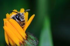 Honey Bee en la flor amarilla Foto de archivo
