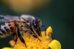 Honey Bee en la flor amarilla Foto de archivo libre de regalías