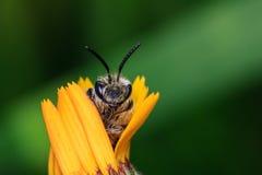 Honey Bee en la flor amarilla Imagen de archivo libre de regalías